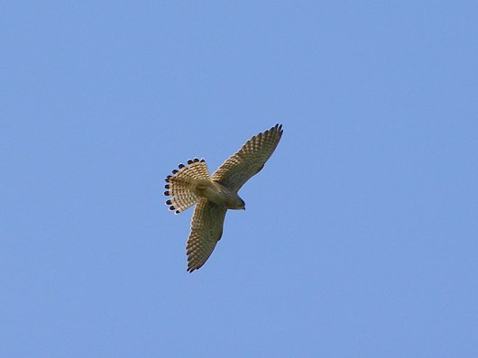 Kestrel in flight over Willow Tree Fen